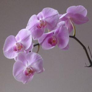 わが家の胡蝶蘭